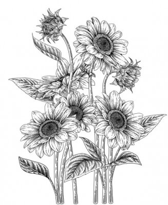 Plakat Sketch Floral decorative set. Sunflower drawings. Black and white with line art isolated on white backgrounds. Hand Drawn Botanical Illustrations. Elements vector.
