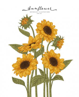 Plakat Sketch Floral decorative set. Sunflower drawings. Highly-detailed line art isolated on white backgrounds. Hand Drawn Botanical Illustrations. Elements vector.