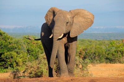 Plakat Słoń afrykański, Addo Elephant National Park