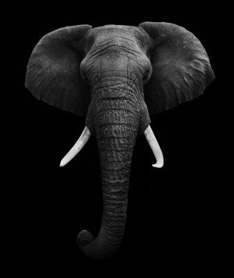 Plakat Słoń afrykański samodzielnie