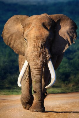 Plakat Słoń zbliża