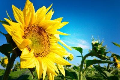 Plakat Słonecznik i błękitne niebo