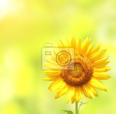 Słonecznik na rozmazany słoneczny tle