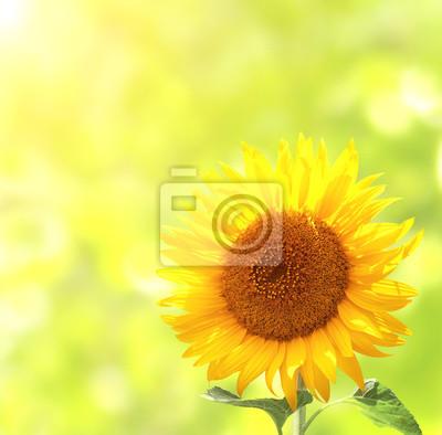 Plakat Słonecznik na rozmytym tle słoneczny