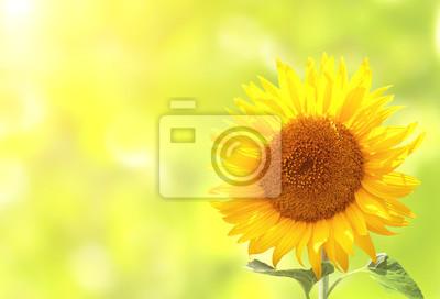 Słonecznik na rozmytym tle słoneczny