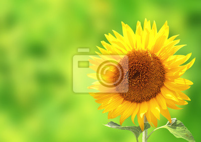 Słonecznik na zamazanym pogodnym tle