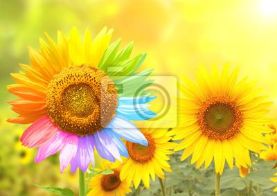 Słonecznik z płatkami malowane w kolorach tęczy
