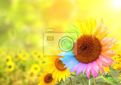 Plakat Słonecznik z płatkami malowane w kolorach tęczy