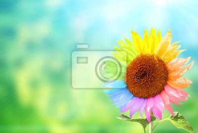 Słonecznik z płatkami pomalowanymi w kolorach tęczy