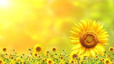 Plakat słoneczniki