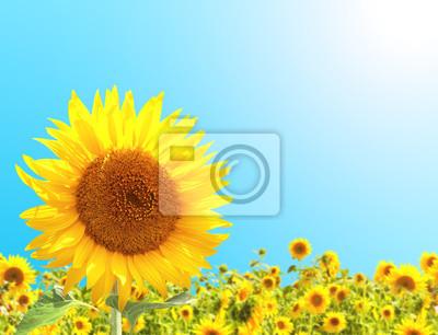 Słoneczniki na niebieskiego nieba tle
