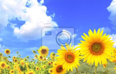 Słoneczniki na niebieskim tle nieba