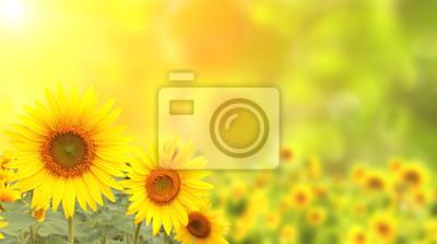 Plakat Słoneczniki na rozmazany słoneczny tle