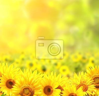 Słoneczniki na rozmazany słoneczny tle