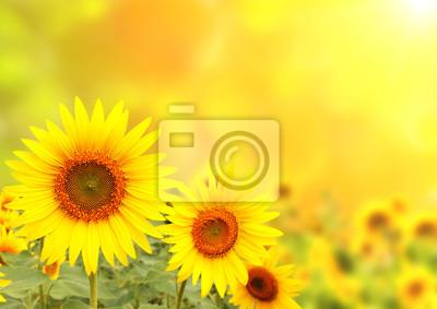 Plakat Słoneczniki na rozmytym tle słoneczny