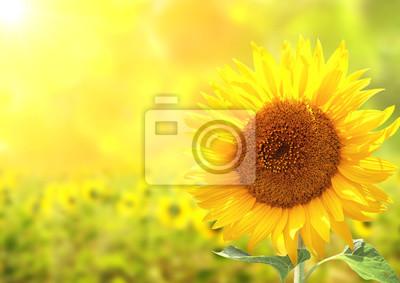 Słoneczniki na rozmytym tle słoneczny