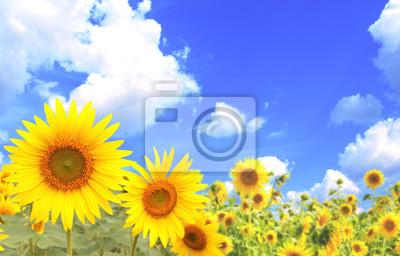 Plakat Słoneczniki na tle błękitnego nieba