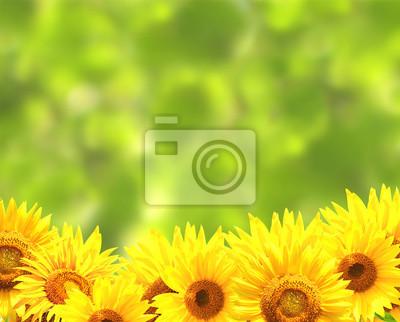 Słoneczniki na zamazany zielone tło