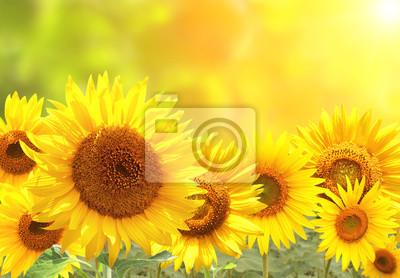 Plakat Słoneczniki na zamazanym pogodnym tle