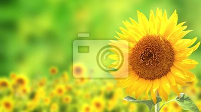 Plakat Słoneczniki na zielonym tle