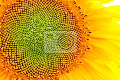 Plakat Słonecznikowy kwitnienie, zamyka w górę płatek tekstury makro- szczegółu, organicznie tło
