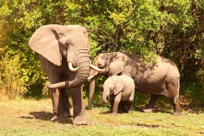 Plakat Słonie w Masai Mara