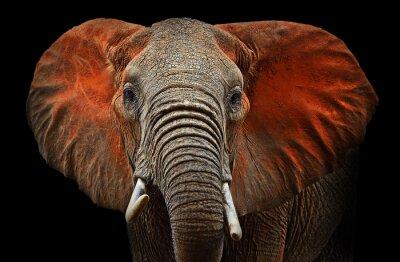 Plakat Słonie z Tsavo
