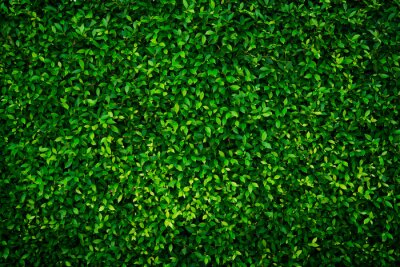 Plakat Small green leaves texture background with beautiful pattern. Clean environment. Ornamental plant in the garden. Eco wall. Organic natural background. Many leaves reduce dust in air. Tropical forest.