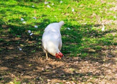 śmieszne białe kury drobiu spacery i dziobanie ziarna na podwórku gospodarstwa