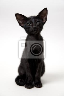 Plakat śmieszne Czarny Kotek Orientalne Na Wymiar Czarny Młody