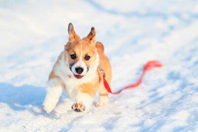 śmieszne mały rudowłosy szczeniak corgi biegnie wzdłuż białych zasp w zimowym parku w słoneczny dzień