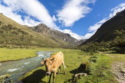 Plakat Śnieg pokryte szczyt i krowy w polu, Cordillera blan