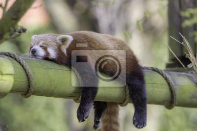 Plakat Śpiąca czerwona Panda. Śmieszne zwierzę obraz.