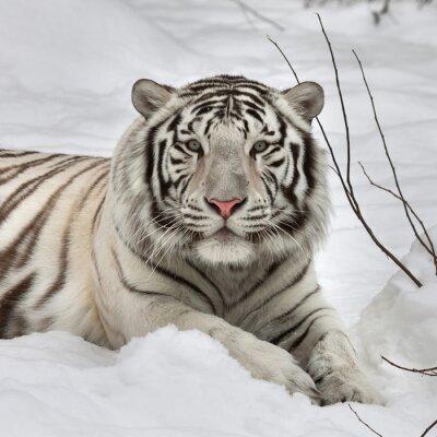 Plakat Spojrzeniem Biały Tygrys bengalski, leżącego na świeżym śniegu w Alert pozie. Najpiękniejsza zwierząt i bardzo niebezpieczne zwierzę na świecie. To ciężka raptor jest perłą przyrody. twarz portret Zwi