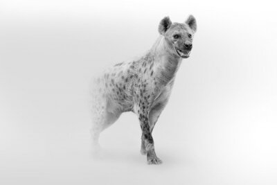 Plakat spotted hyena African wildlife animal art collection