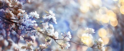 Plakat spring blooming garden background, delicate white flowers on trees, seasonal march springtime