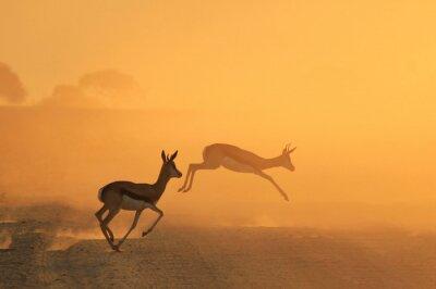 Plakat Springbok Antelope - Golden Sunset Wildlife Sylwetki