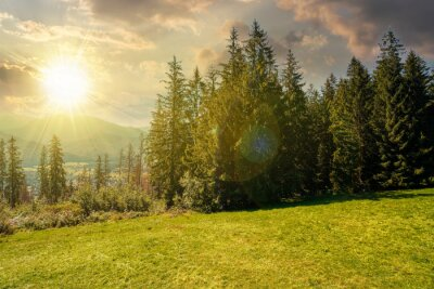 Plakat spruce forest on the grassy hillside at sunset. beautiful nature scenery in mountains. summer landscape with dramatic sky above the distant ridge in evening light. explore backcountry concept