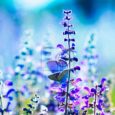 Plakat square natural background with small bright blue butterfly Blues sitting on purple flowers in summer Sunny day on a rural meadow