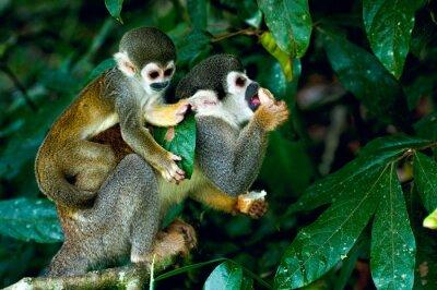 Plakat Squirrel Monkey w Amazońskiej