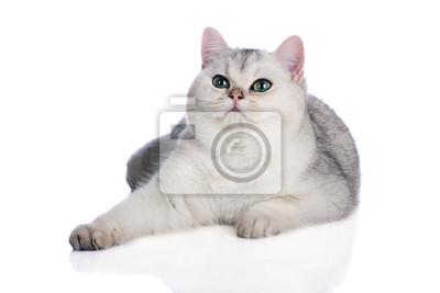 Plakat Srebrny Kot Brytyjski Krótkowłosy Kitten Na Wymiar Widok