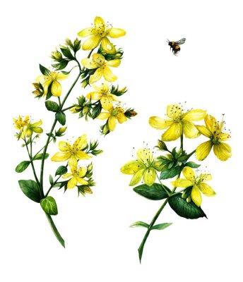 Plakat St. John's wort (Hypericum perforatum)  Watercolor hand drawn botanical illustration isolated on white background. Yellow flower.