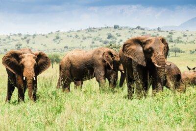 Plakat Stado słoni, Kidepo Dolina Park Narodowy (Uganda)