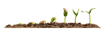 Plakat Stages of growing seedling in soil on white background. Banner design