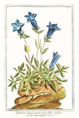 Plakat Stare botaniczne ilustracji Gentiana alpina pumila brevi folio. G. Bonelli na temat Hortusa Romanusa, publ. N. Martelli, Rzym, 1772 - 93