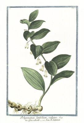 Plakat Stare botaniczne ilustracji Polygonatum latifolium vulgare. G. Bonelli na temat Hortusa Romanusa, publ. N. Martelli, Rzym, 1772 - 93
