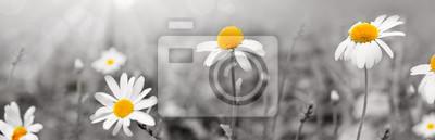 Plakat Stokrotka kwitnie w pogodnym letnim dniu.