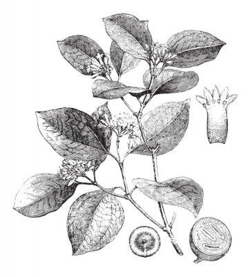 Plakat Strychnos nux vomica (Medicinal plant) / vintage illustration from Brockhaus Konversations-Lexikon 1908
