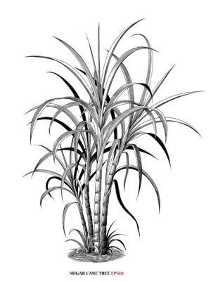 Plakat Sugar cane tree botanical illustration vintage engraving style black and white clipart isolated on white background