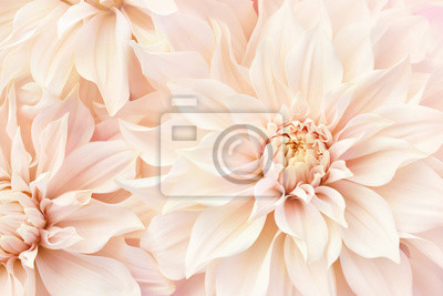 Plakat Summer blossoming delicate dahlias, blooming flowers festive background, pastel and soft bouquet floral card, selective focus, toned
